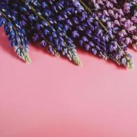 fiori di lupino distesi su sfondo rosa foto