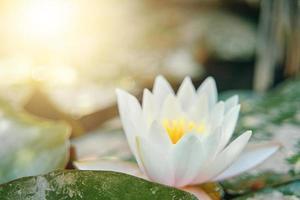 ninfea bianca tra il fogliame verde close-up foto