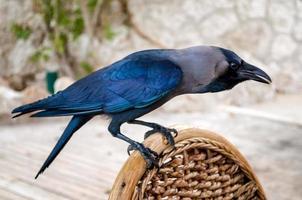 corvo appollaiato su una sedia