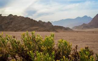 pianta verde con piccoli fiori con uno sfondo di montagne nel deserto foto