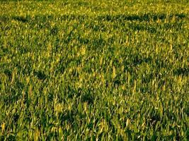 erba verde in un campo foto