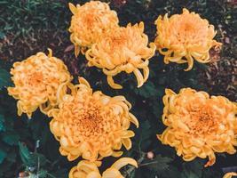 fiori di crisantemo giallo foto