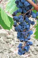 grappolo d'uva su una vite foto