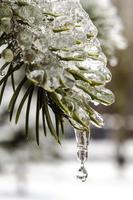 scioglimento del ghiaccio su un ramo di abete foto