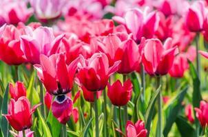 primo piano dei tulipani rosa foto