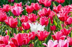 tulipani rossi e bianchi foto