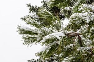 neve su un albero di pino foto