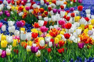 tulipani ibridi multicolori foto