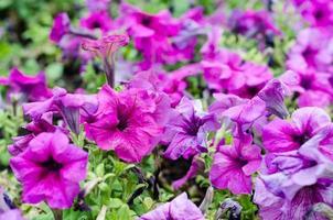 gruppo di petunie viola foto