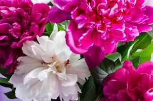 primo piano di peonie rosa e bianche foto