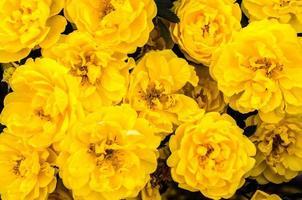 gruppo di fiori gialli foto