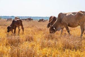 mandria di mucche al pascolo foto