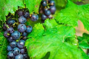 primo piano di uva foto
