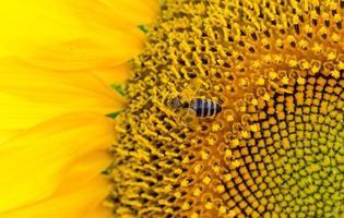primo piano di un'ape su un girasole foto