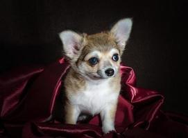chihuahua su tessuto viola su uno sfondo scuro foto