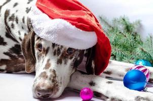 dalmata in un cappello da Babbo Natale foto