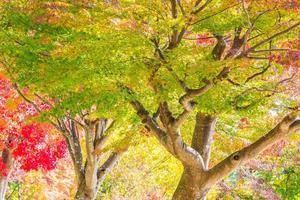 bella foglia d'acero rossa e verde su albero foto