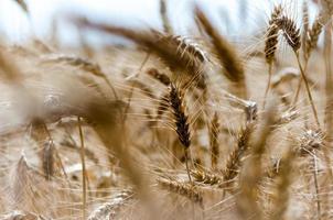 primo piano di un campo di grano foto