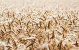 campo di grano durante il giorno foto
