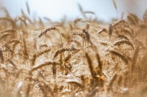 sfondo del campo di grano foto