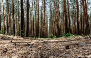 alberi di pino nella foresta foto