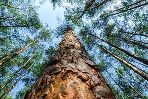 alberi di pino nel cielo foto