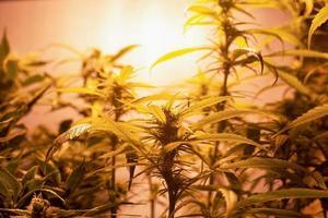 piantagione domestica di marijuana, piante di cannabis in fiore sotto luce artificiale al chiuso foto