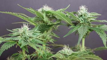 bellissimo cespuglio di cannabis in fiore con gemme bianche come la neve cosparse di tricomi foto