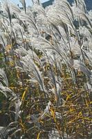 amur silver grass miscanthus sacchariflorus chiamato giapponese silver grass foto