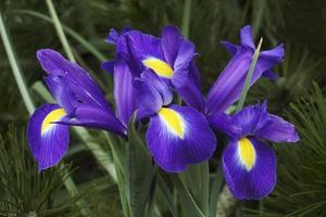 iris olandese, iris xiphium chiamato iris spagnolo foto