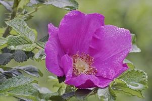 beach rose rosa rugosa conosciuta anche come ramanas rose, rugosa rose, saltspray rose, potato rose, japanese rose e turkestan rose. foto