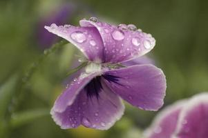 viola del pensiero, viola x wittrockiana, conosciuta anche come viola del pensiero da giardino foto