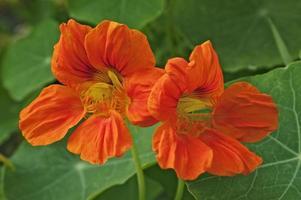 giardino nasturcius, tropaeolum majus, crescione indiano e crescione dei monaci foto
