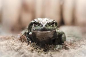 primo piano di una rana foto
