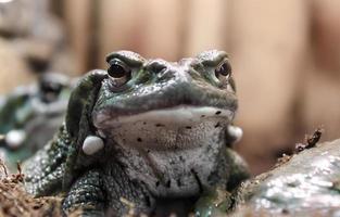 primo piano del volto di una rana foto