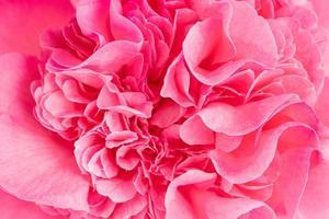 ripresa macro di una bellissima camelia rosa foto