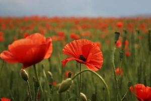 spettacolare fioritura vivido primo piano di papaveri in un campo di papaveri. ciao primavera, paesaggio primaverile, sfondo rurale, copia spazio. fiore papavero in fiore su sfondo papaveri fiori. natura. foto