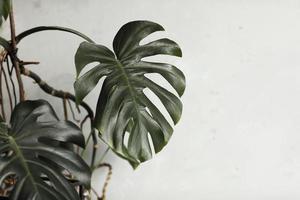 grande foglia verde per la disposizione dei fiori. foglia di monstera. scelta popolare del fioraio che utilizza foglie di piante esotiche della giungla. foglie verdi. messa a fuoco selettiva foto