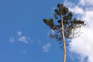 bellissimo un unico albero nella foresta in piedi alto contro il cielo blu e soffici nuvole bianche, un albero di pino su uno sfondo di cielo blu. foto