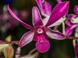 orchidea rosa intenso foto