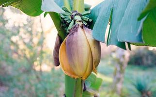 fiore di banana con sfondo sfocato alla luce del giorno foto