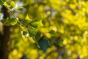 foglie e rami di ginkgo retroilluminati con uno sfondo sfocato foto