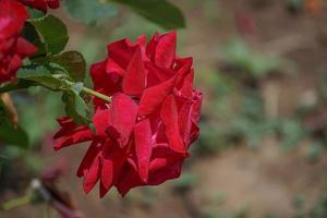 primo piano di una rosa rossa foto