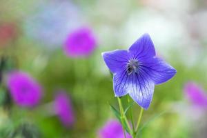 primo piano di un fiore di campanula con uno sfondo sfocato foto
