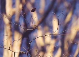 sottili rami spogli e una singola foglia con alberi sfocati sullo sfondo foto