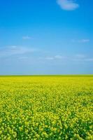 campo di colza con cielo blu nuvoloso in crimea foto
