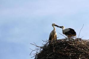 famiglia di cicogne primaverili in un nido foto