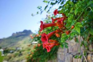 Close-up di campsis radicans o la tromba su una parete di roccia in Koktebel, Crimea foto
