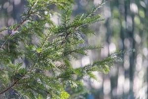 primo piano di rami di abete con sfondo sfocato alla luce del giorno foto