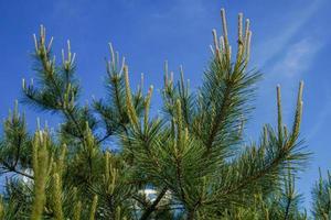 rami di un albero di pino contro un cielo blu chiaro foto